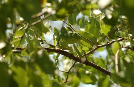 africa chameleon: Chameleon - Africa