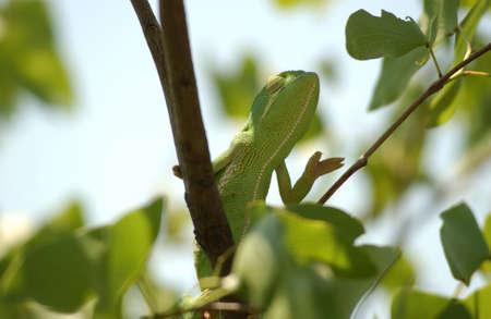Chameleon - Africa photo
