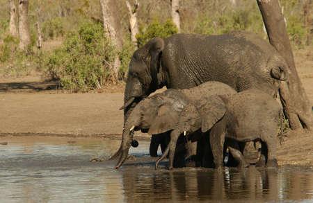 kruger national park: African Elephant - Kruger National Park, South Africa Stock Photo