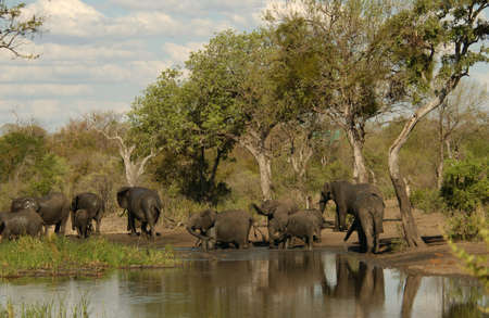 African Elephant - Kruger National Park, South Africa Stock Photo