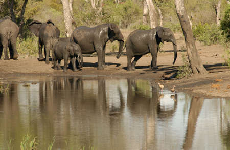 African Elephant - Kruger National Park, South Africa Stock Photo - 184395