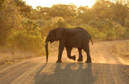 African Elephant - Kruger National Park, South Africa photo