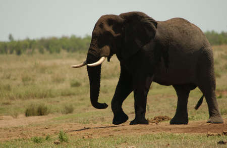 African Elephant - Kruger National Park, South Africa photo