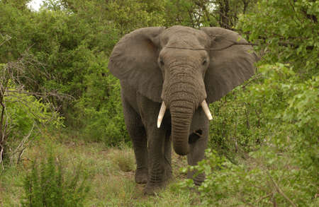 sightsee: African Elephant - Kruger National Park, South Africa Stock Photo