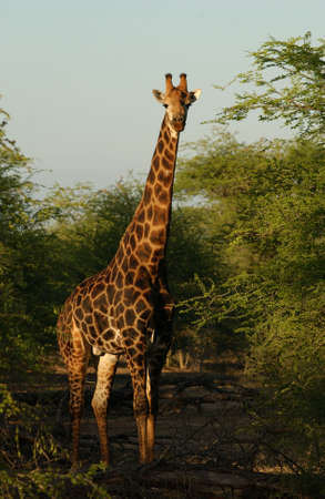 sightsee: Kruger National Park - South Africa - Giraffe Stock Photo