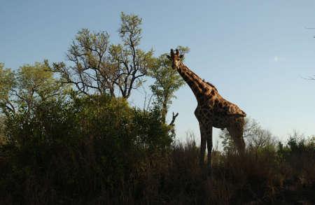 Kruger National Park - South Africa - Giraffe photo