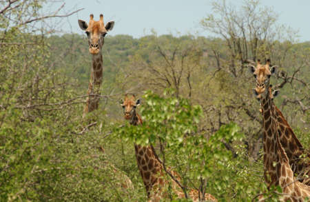 Kruger National Park - South Africa - Giraffe Stock Photo - 184476