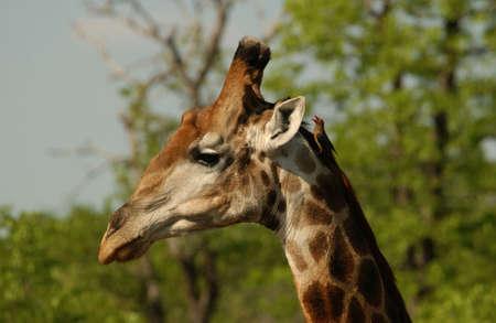 kruger national park: Kruger National Park - South Africa - Giraffe Stock Photo