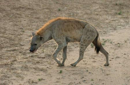hienas: Hiena - �frica Foto de archivo