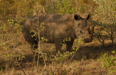 White Rhino - Kruger National Park, South Africa photo
