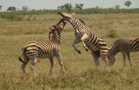 Kruger National Park, South Africa - Zebra Stock Photo - 184555
