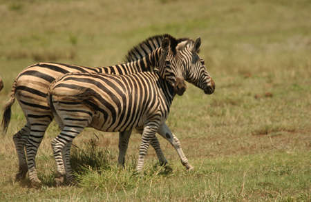 Kruger National Park, South Africa - Zebra photo