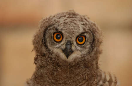 south african birds: Owls - Sud Africa