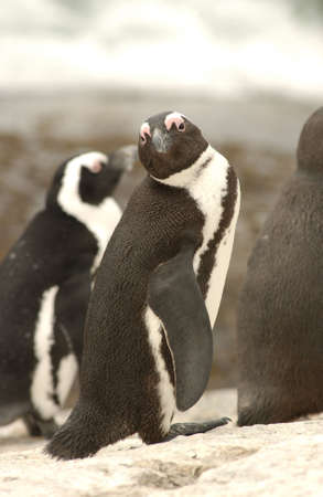 Penguins - South Africa photo