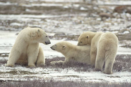 churchill: Polar Bears, Churchill, Manitoba