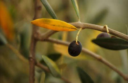 tuscana: Olives - Tuscany, Italy