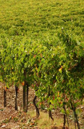 Vineyards - Tuscany, Italy Stock Photo - 184882