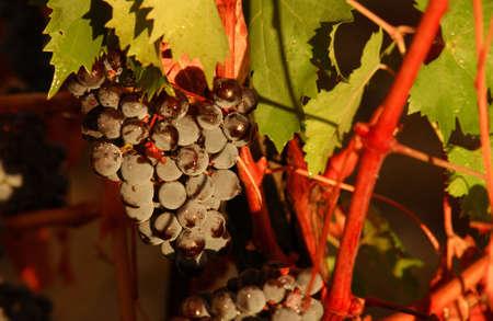 Vineyards - Tuscany, Italy Stock Photo - 184888