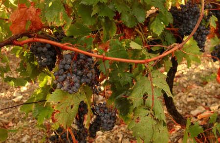 Vineyards - Tuscany, Italy Stock Photo - 184889