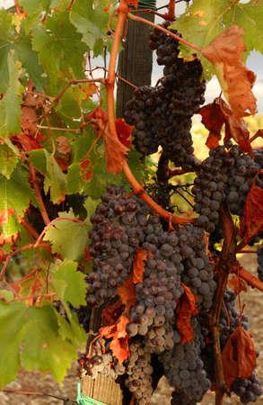 Vineyards - Tuscany, Italy Stock Photo - 184890