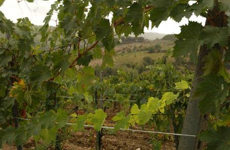 Vineyards - Tuscany, Italy Stock Photo - 184894