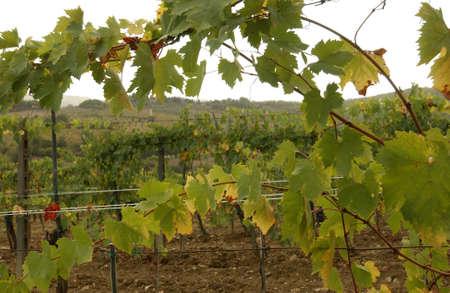 Vineyards - Tuscany, Italy Stock Photo - 184895