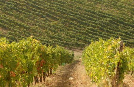Vineyards - Tuscany, Italy Stock Photo - 184907