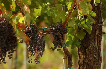 Vineyards - Tuscany, Italy Stock Photo - 184909