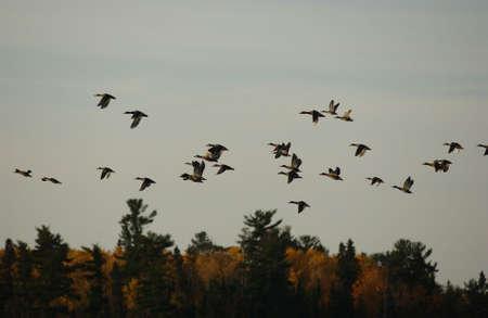 waterfowl: Lake Photography - waterfowl
