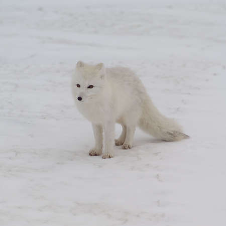 snow covered: Churchill - Northern Manitoba, Arctic Fox