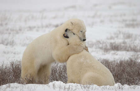 churchill: Polar Bears in Churchill Manitoba - Canada North
