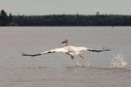 skimming: P�jaro que desnata sobre el lago Foto de archivo