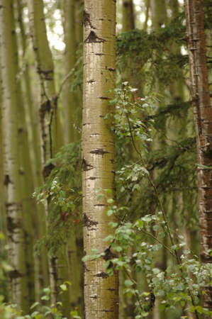 Trees in forest around Oil Sands Stock Photo - 254947