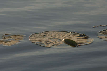 lilypad: Lily pad floating in the water
