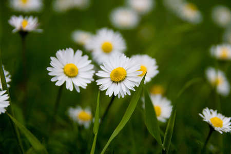 daises: Group of white and yellow daises growing naturally in the green grass