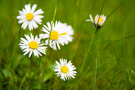 daises: White and yellow daises growing naturally in the green grass Stock Photo