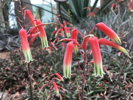 Red and Green Delicate aloe fragilis flower  from Madagascar Stock Photo