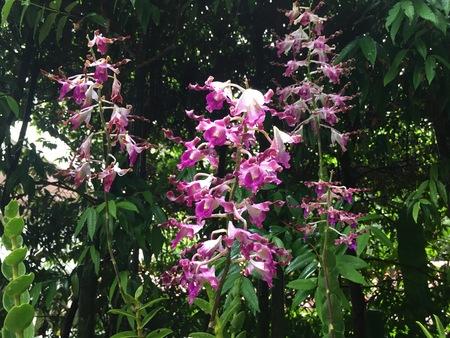 Dendrobium Margaret Thatcher hybrid orchid flower plant