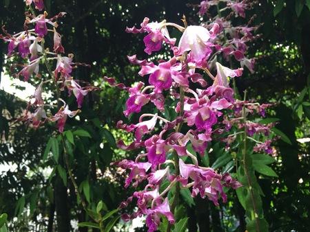 デンドロビウム マーガレット ・ サッチャー ハイブリッド蘭の花植物