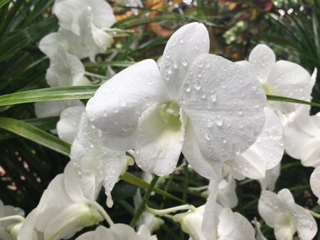 Dendrobium Stefanie Sun - pure white hybrid orchid flower Stock Photo