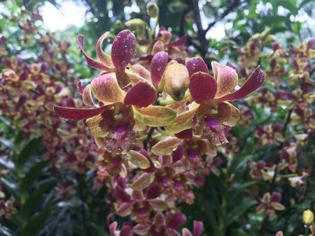 Dendrobium Zhou Xun hybrid orchid flower plant