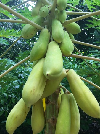 Ripe Yellow papaya fruits in a carica papya tree from central america