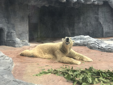 Captive polar bear resting on the ground Banco de Imagens