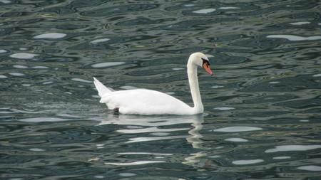 White mute swan swimming on moving river dark water Фото со стока