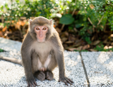Wild Taiwanese Formosan rock macaque monkey looking at the camera