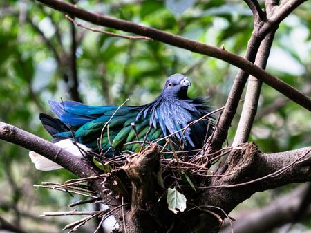 Nicobar pigeon bird or Caloenas nicobarica in a nest