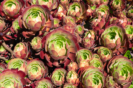 Aeonium arboreum or tree anemone a red and green plant with flowers background