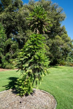 Wollemi pine or wollemia nobilis a critically endangered coniferous tree in Adelaide botanic gardens SA Australia