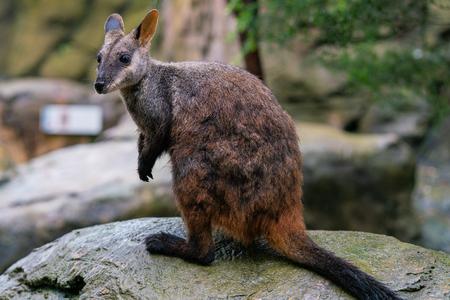 Cepillo de cola de rock-wallaby o wallaby de roca de orejas pequeñas Petrogale penicillata en NSW, Australia