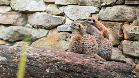 Group of nestled freezing Meerkats looking at the same direction